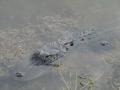 AlligatorsPalmHarbor1