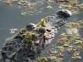 AlligatorsPalmHarbor4