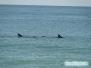 Delfiny na plaży North Jetty Beach Park