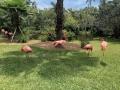 FlamingiSarasotaJungleGardens16