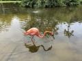 FlamingiSarasotaJungleGardens3
