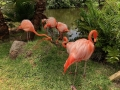 FlamingiSarasotaJungleGardens5