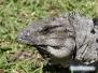 Iguany na Cozumel