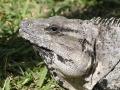 IguanaCozumel1