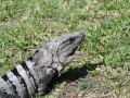 IguanaCozumel5