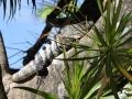 IguanaCozumel8