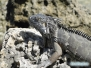 Iguany na Key Biscayne