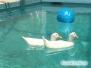 Kaczki w basenie