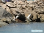 Łódki, pelikany, czaple na North Jetty