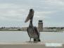 Pelikan brunatny