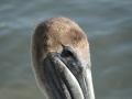 PelikanPrzyRinglingBridge3