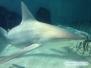 Rekiny w MOTE Aquarium