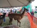 SarasotaPumpkinFestival11
