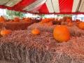 SarasotaPumpkinFestival3