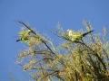 zielonepapugi4
