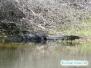 Aligator przy szkole