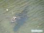 Aligator w naszym stawie