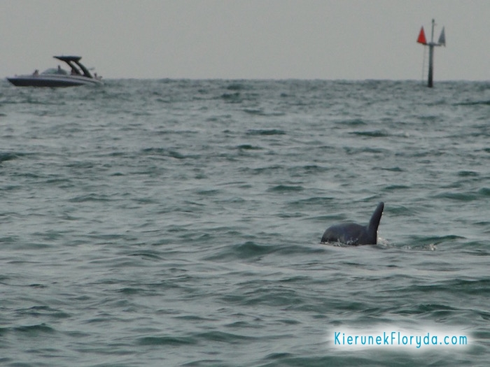 Delfin na Clearwater Beach