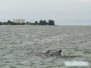 Delfiny w Big Pass
