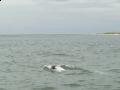 delfinki1