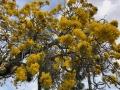 drzewotabebujaKierunekFloryda1
