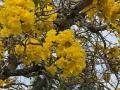 drzewotabebujaKierunekFloryda2