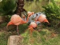 FlamingiSarasotaJungleGardens6