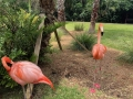 FlamingiSarasotaJungleGardens7