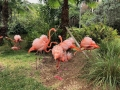 FlamingiSarasotaJungleGardens9