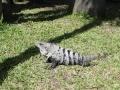 IguanaCozumel2