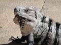 IguanaCozumel4
