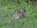 Królik amerykański (Cottontail rabbit)