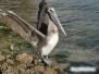 Pelikan przy Ringling Bridge