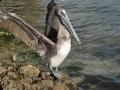 PelikanPrzyRinglingBridge1