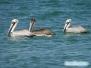 Pelikany na Siesta Key Beach