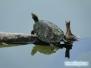 Wygrzewający się na gałęzi żółw
