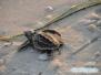 Wylęg żółwi morskich