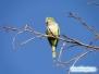 Zielone papugi