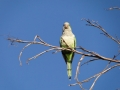zielonepapugi1