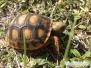 Żółw norowy