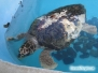 Żółwie morskie w MOTE Aquarium